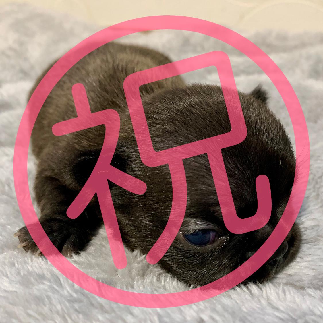 フレンチブルドッグ ブリンドルの子犬