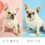 フレンチブルドッグ 父犬「しし丸」母犬「小松」