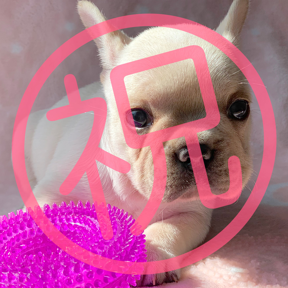 フレンチブルドッグ クリームの子犬