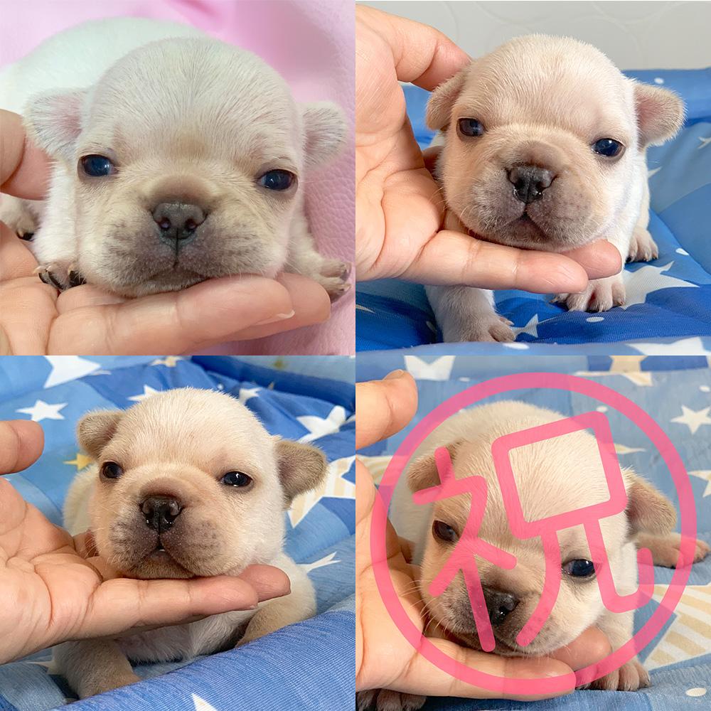 ぶーこ&獅子丸の子犬の見学開始しました!|新着情報と出産のお知らせ