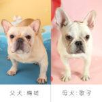 フレンチブルドッグ 父犬「梅雄」母犬「歌子」
