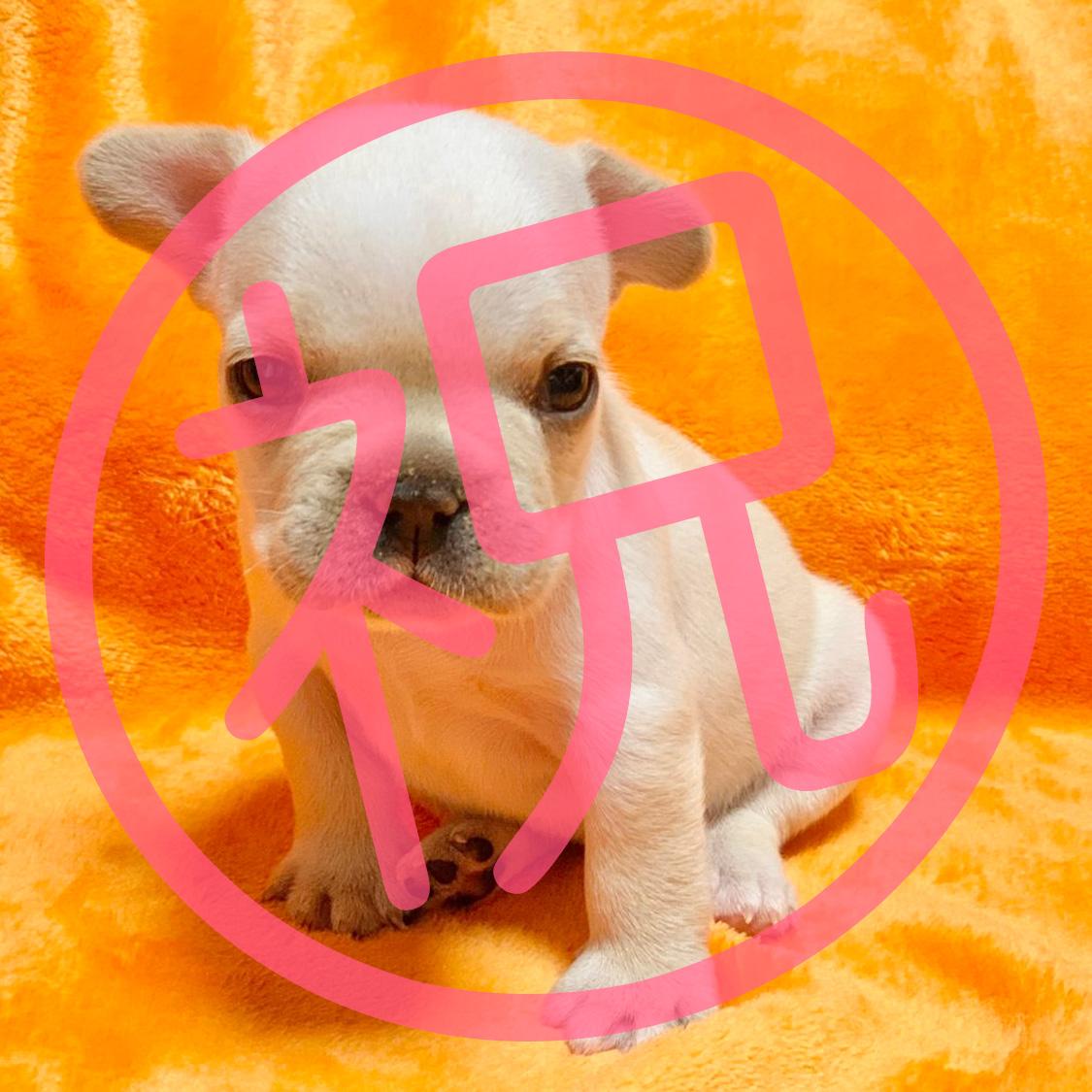 フレンチブルドッグクリームの子犬