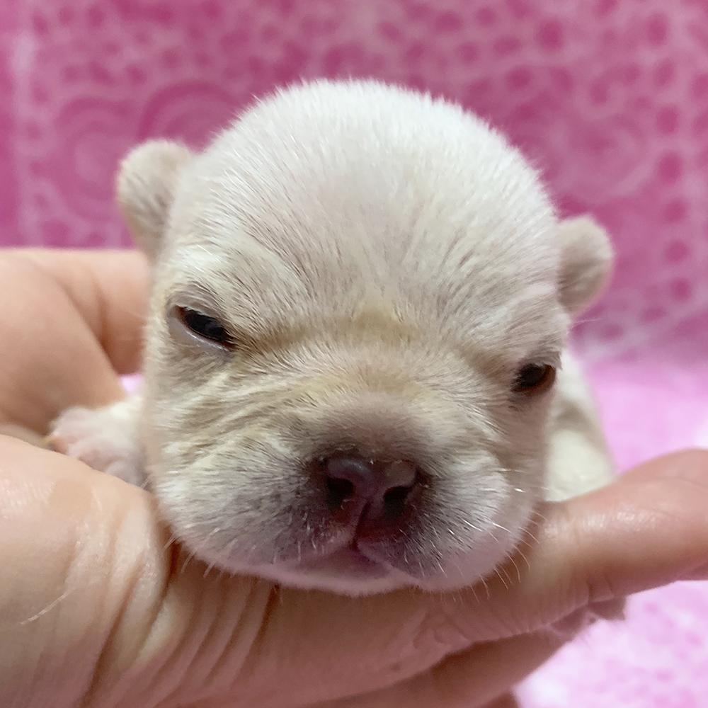 9月27日生まれの子犬(女の子)の写真と動画を掲載しました! 新着情報と出産のお知らせ