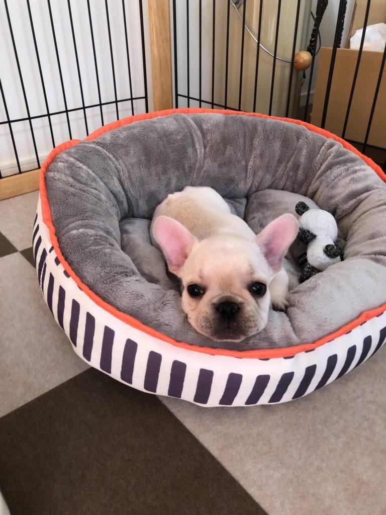 楽久ちゃん🐾|シオから巣立った子犬写真館