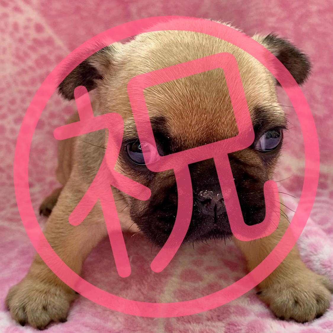フレンチブルドッグ フォーンの子犬