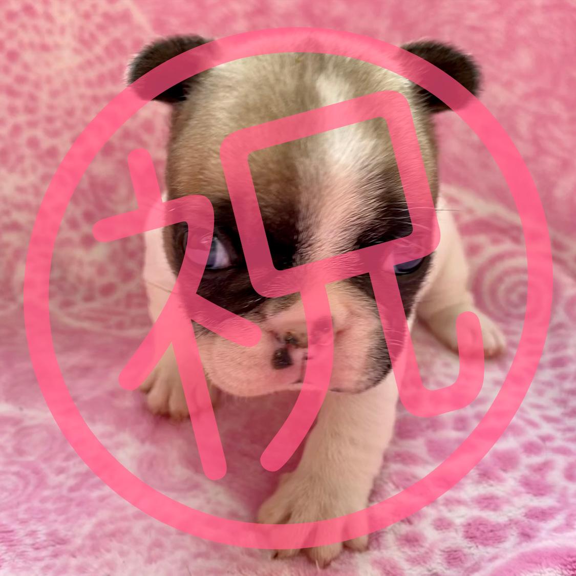 フレンチブルドッグ フォーンパイドの子犬