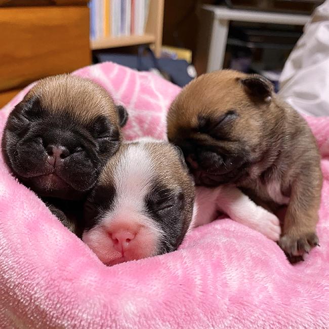 フォーンとフォーンパイドの子犬が産まれました😊 新着情報と出産のお知らせ
