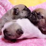 フレンチブルドッグブリーダー|埼玉県深谷市のドッグハウス シオ|フォーンの子犬が産まれました