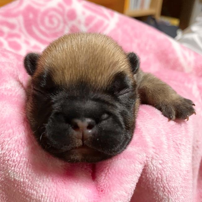 フォーンとフォーンパイドの子犬が産まれました😊|新着情報と出産のお知らせ