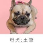 フレンチブルドッグ 母犬「土筆 つくし」