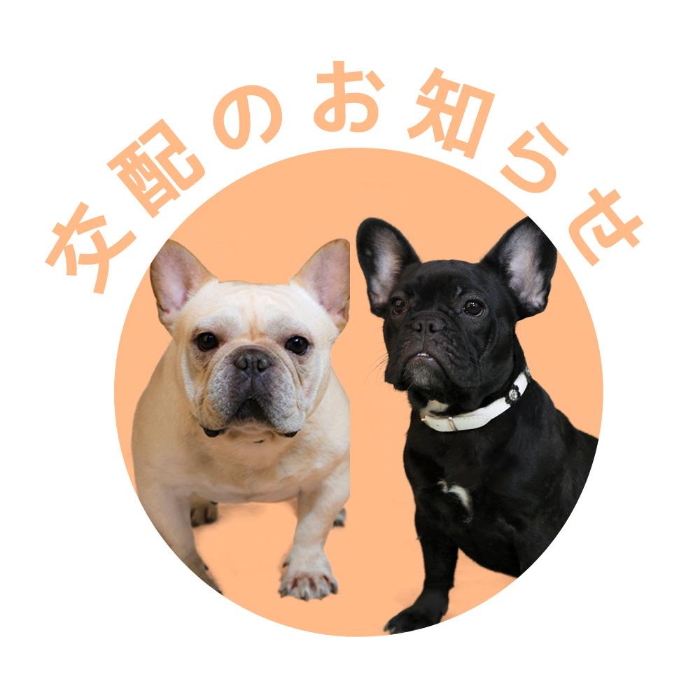 フレンチブルドッグ|ドッグハウス シオ|親犬【梅雄&由美子】