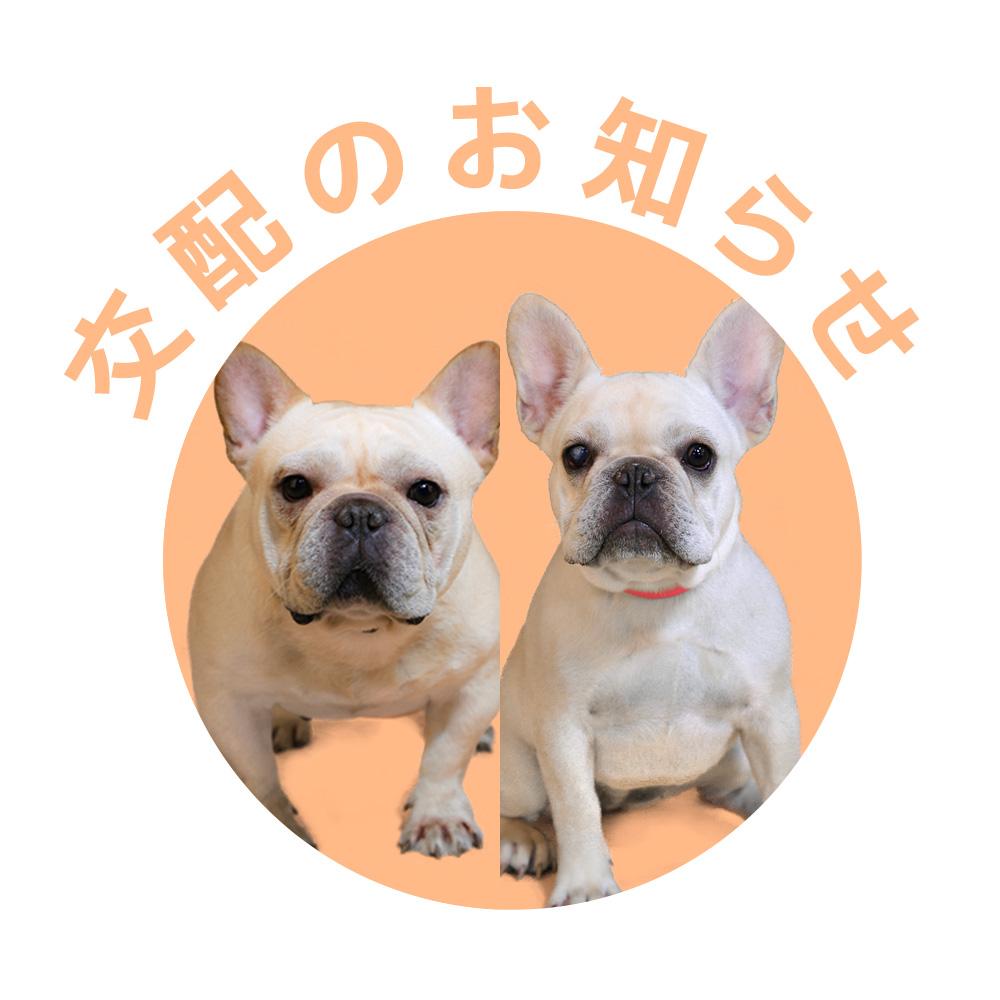 フレンチブルドッグ|ドッグハウス シオ|交配のお知らせ【梅雄&真由美】