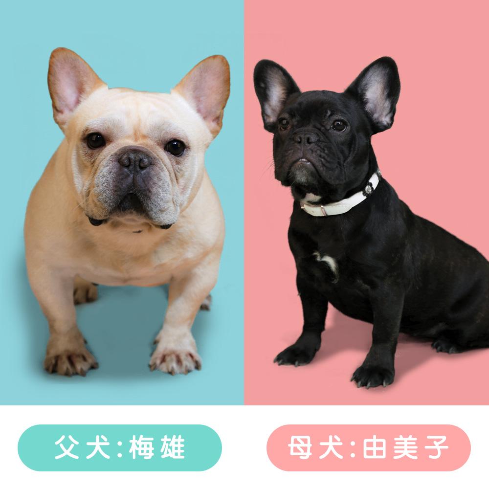 7/10 由美子ママ&梅雄パパのかわいい赤ちゃんが生まれました!クリーム1匹、ブリンドル3匹 の4つ子ちゃんです😁✨|新着情報と出産のお知らせ