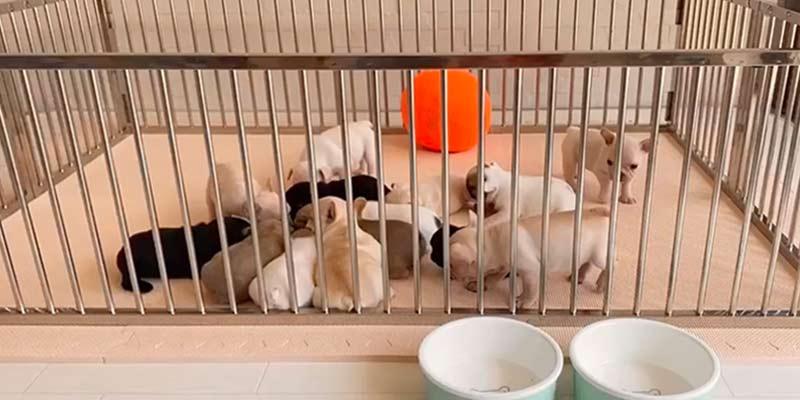 フレンチブルドッグの子犬を迎えたら!適切なサークル・ケージの選び方|お役立ち記事 飼い方