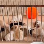 フレンチブルドッグの子犬を迎えたら!適切なサークル・ケージの選び方