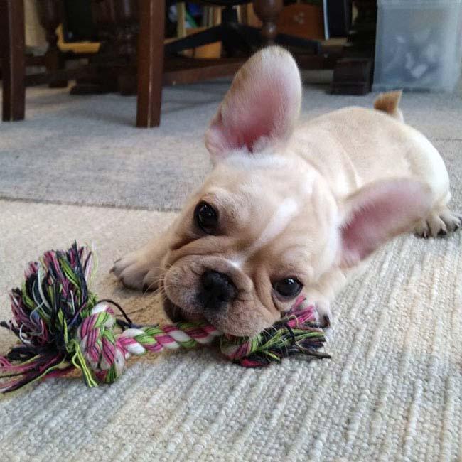 琥珀(コハク)くんのご家族さんからお便り届きました😊 シオから巣立った子犬写真館