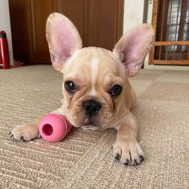 琥珀(コハク)くんのご家族さんからお便り届きました😊|シオから巣立った子犬写真館