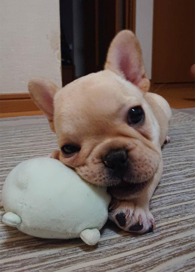 心夏ちゃんのご家族さんからお便り届きました😊 シオから巣立った子犬写真館