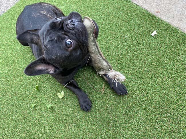 コアくんのご家族さんからお便り届きました😊|シオから巣立った子犬写真館