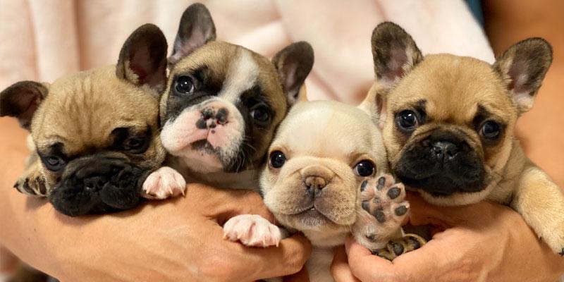 フレンチブルドッグとブルドッグの違いや見分け方、飼うなら知っておきたい犬種誕生の歴史 お役立ち記事 雑学