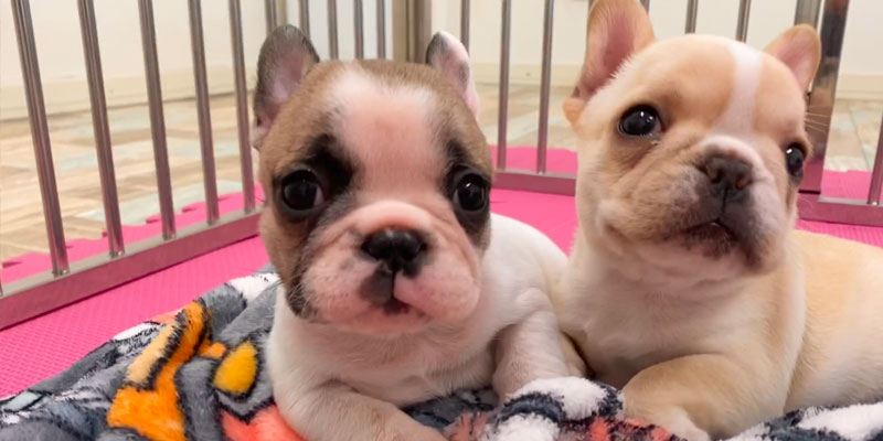 【お迎え編】フレンチブルドッグ飼育に必要な費用はいくら?飼うのにお金がかかる犬種って本当?|お役立ち記事 飼い方 雑学