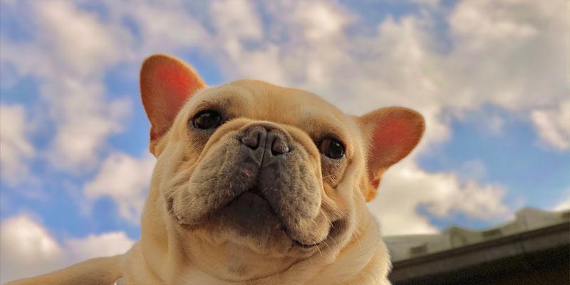 あくびや足舐め……フレンチブルドッグの「ストレスサイン」を見逃さないで!不調からくる仕草に要注意 お役立ち記事 飼い方 性格