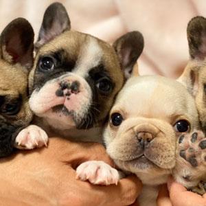 フレンチブルドッグとブルドッグの違いや見分け方、飼うなら知っておきたい犬種誕生の歴史