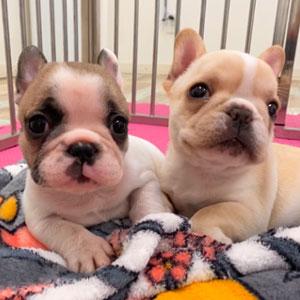 【お迎え編】フレンチブルドッグ飼育に必要な費用はいくら?飼うのにお金がかかる犬種って本当?