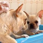 フレンチブルドッグのシャンプー方法が知りたい!皮膚病を防ぐお風呂テクニックって?