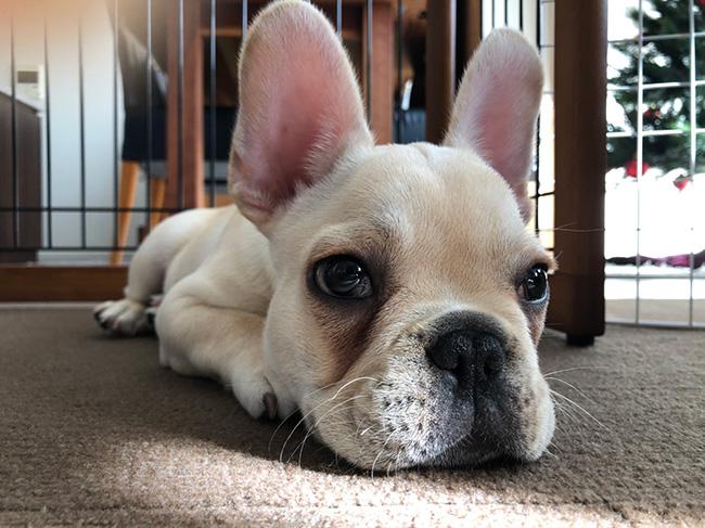 Poohくんのご家族さんからお便り届きました😊 シオから巣立った子犬写真館