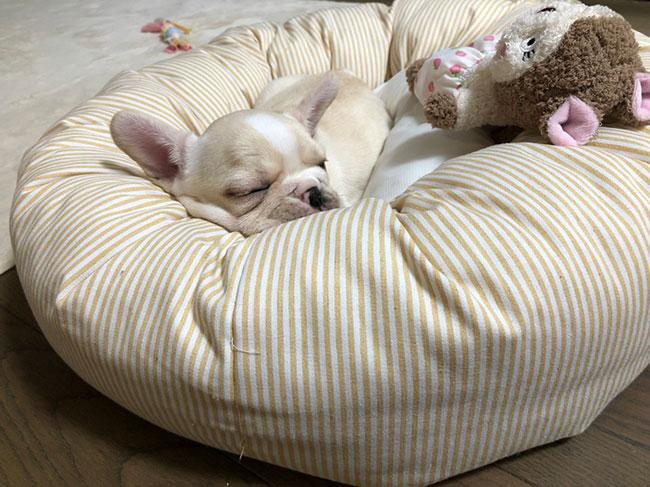 こむぎちゃんのご家族さんからお便り届きました😊 シオから巣立った子犬写真館