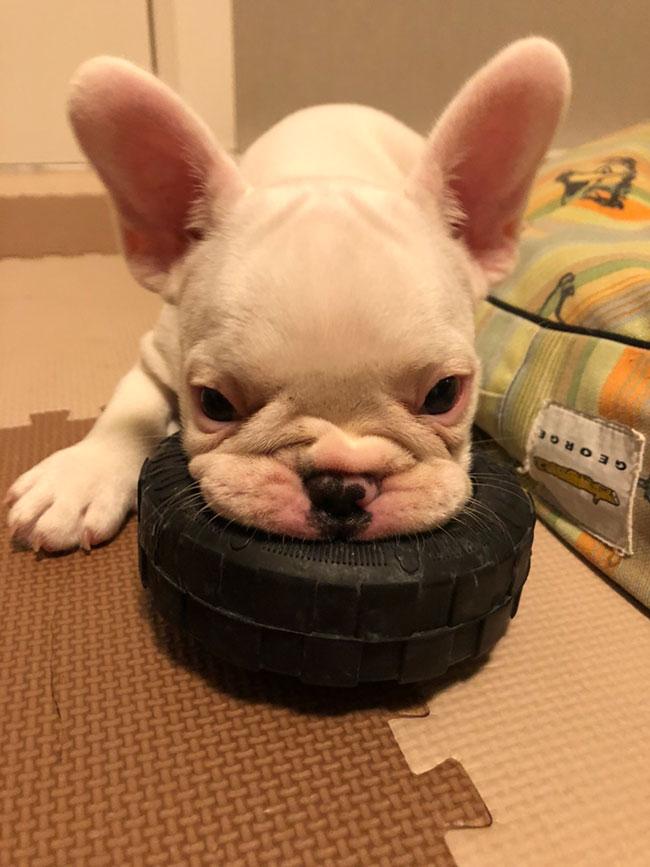 ルーミーくんのご家族さんからお便り届きました😊|シオから巣立った子犬写真館
