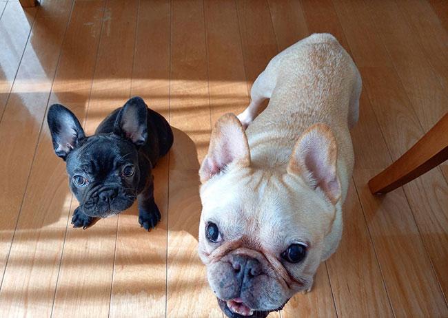 ノアールちゃんのご家族さんからお便り届きました😊 シオから巣立った子犬写真館
